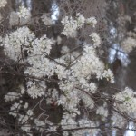 Chickasaw Plum Tree in Bloom