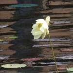 Lotus Flower and Water Lilies