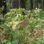 Bashful Deer