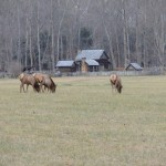 Elk near the Mountain Farm Museum