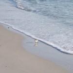 Wading Sandpiper