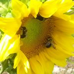 Busy Bee Times Three